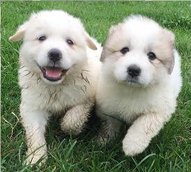 Flashlight Farmers - AKC & CKC Registered Great Pyrenees Pupppies